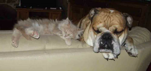 chaton maine coon, bull dog anglais