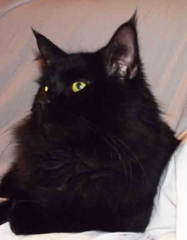 male maine coon black somacoon