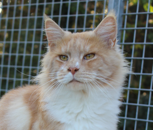 james west des chevaliers noirs, male maine coon red smoke et blanc