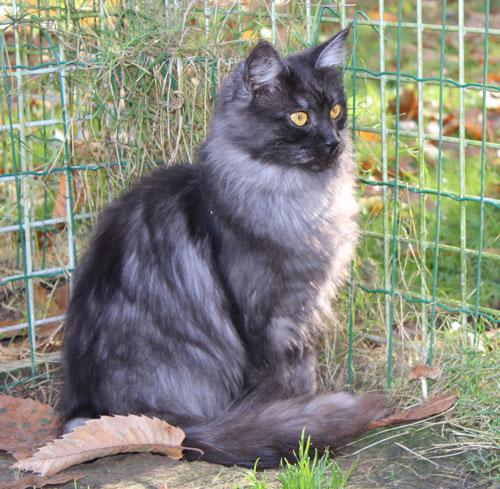 black draco la noiraude, femelle maine coon black smoke